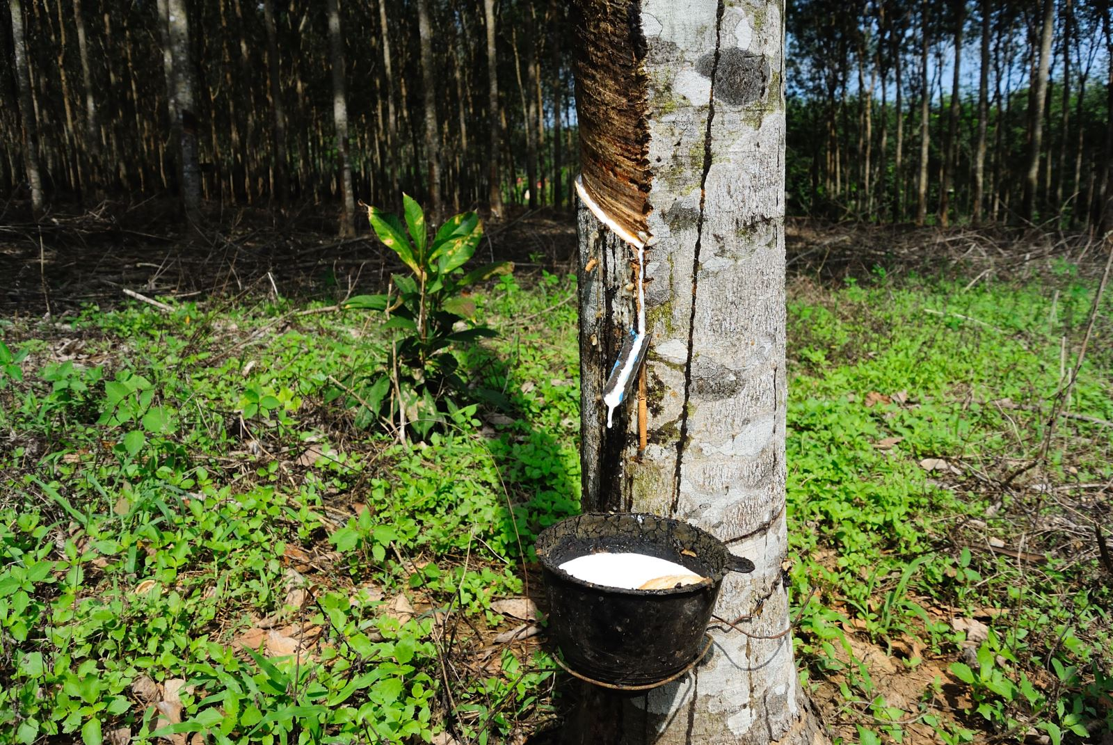 Rubber plantation tree